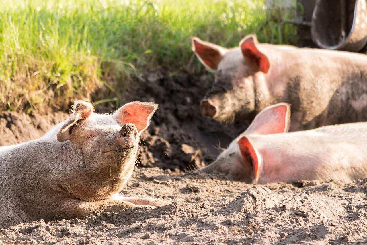 Afrikanische Schweinepest: Ein Viertel der gesamten Schweinepopulation kann sterben