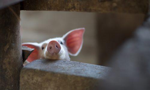 Live im TV: Entlaufenes Schwein verfolgt Reporter