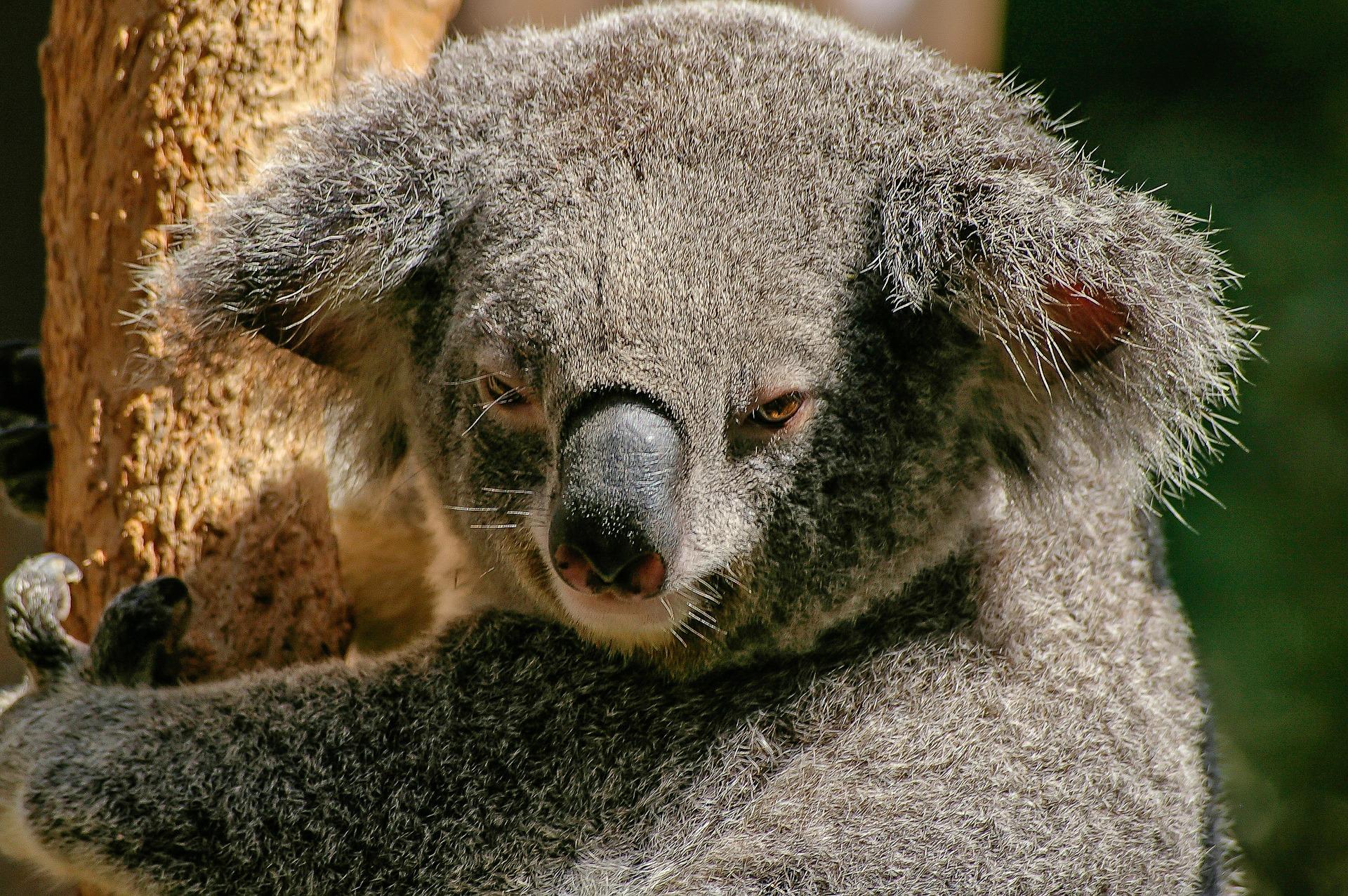 Frau rettet Koalabären aus Waldbrand
