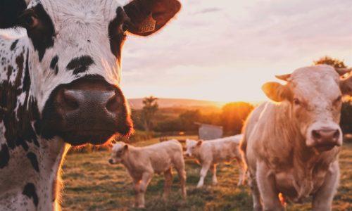 Kühe bekommen VR-Brillen um bessere Milch zu produzieren