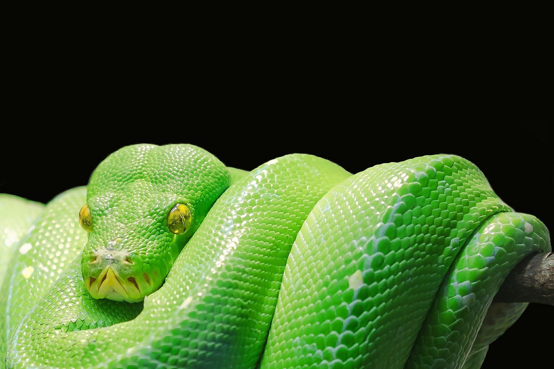 Frau findet 10-Fuß-Python in ihrem Weihnachtsbaum