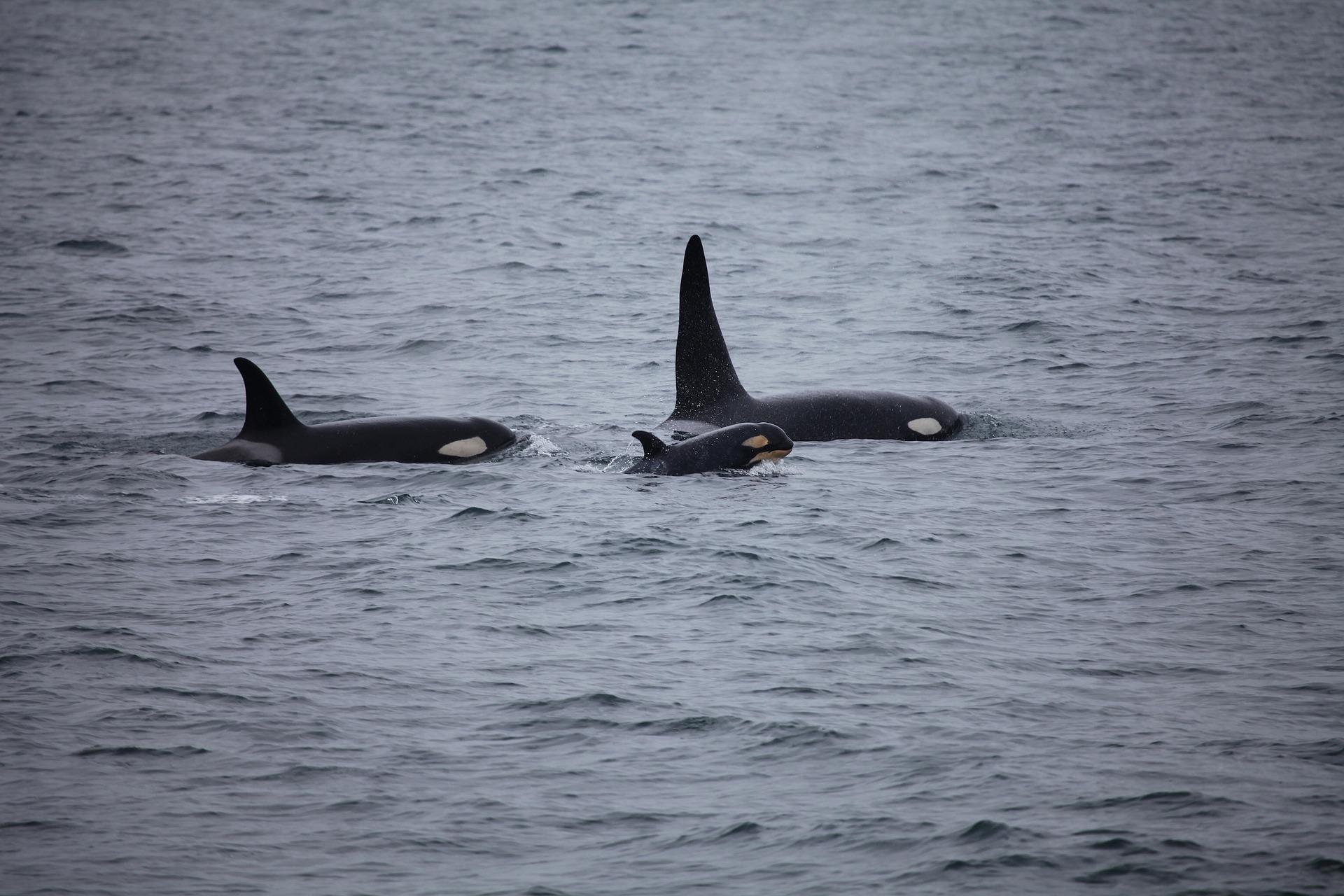 Studie beweist: Orca-Großmütter babysitten junge Wale
