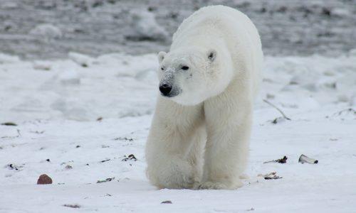 "Russland: Eisbär mit Kürzel ""T-34"" angesprüht"