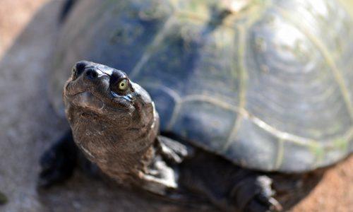 Schildkröte mit grimmigem Blick dürfte Feuer ausgelöst haben