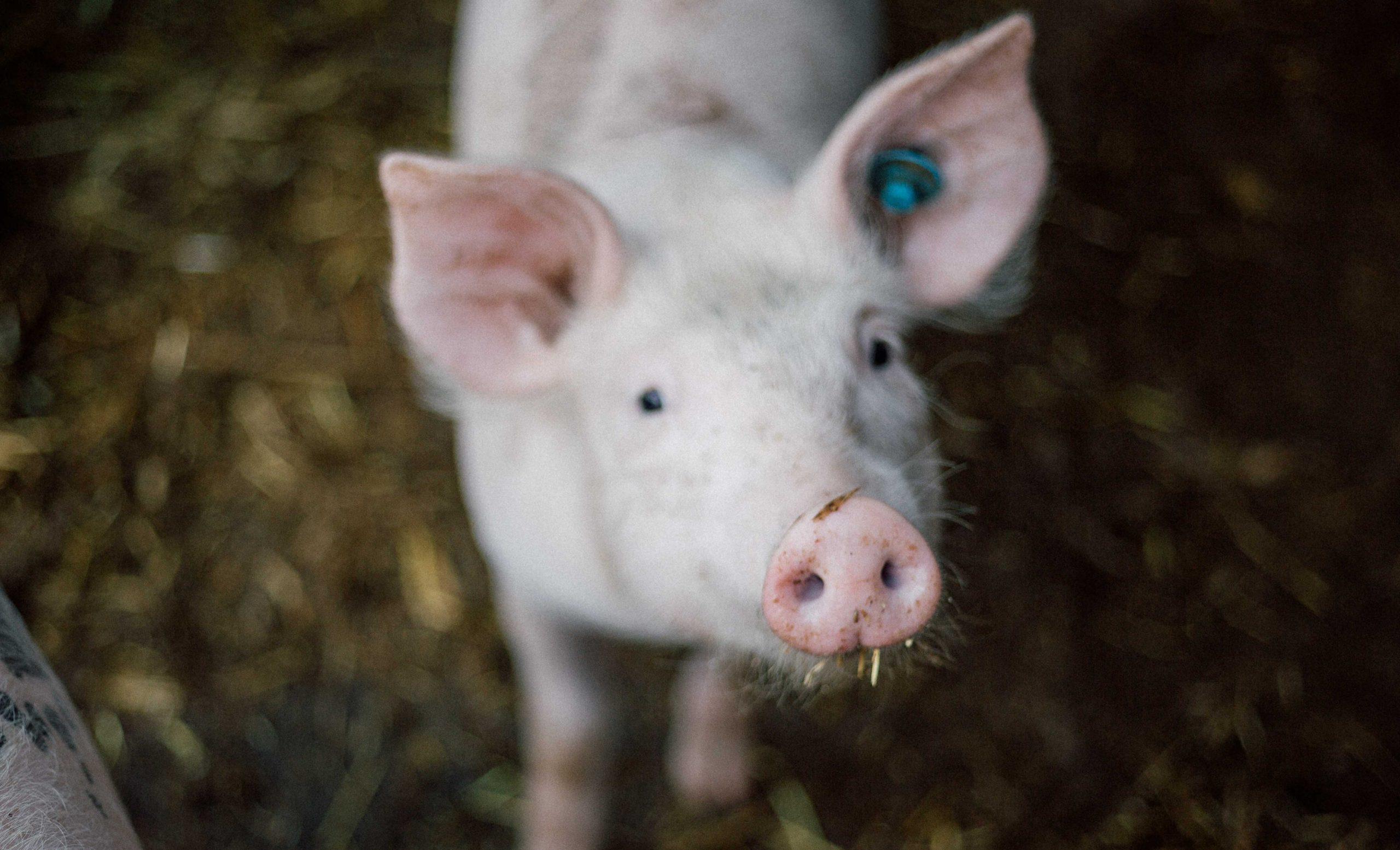 Chinesischer Freizeitpark lässt Schwein vom Bungee-Turm fallen