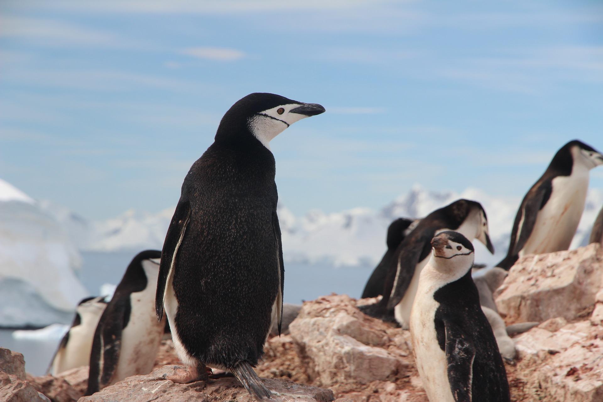 Neue Forschungen: Pinguine von globaler Erwärmung stark bedroht