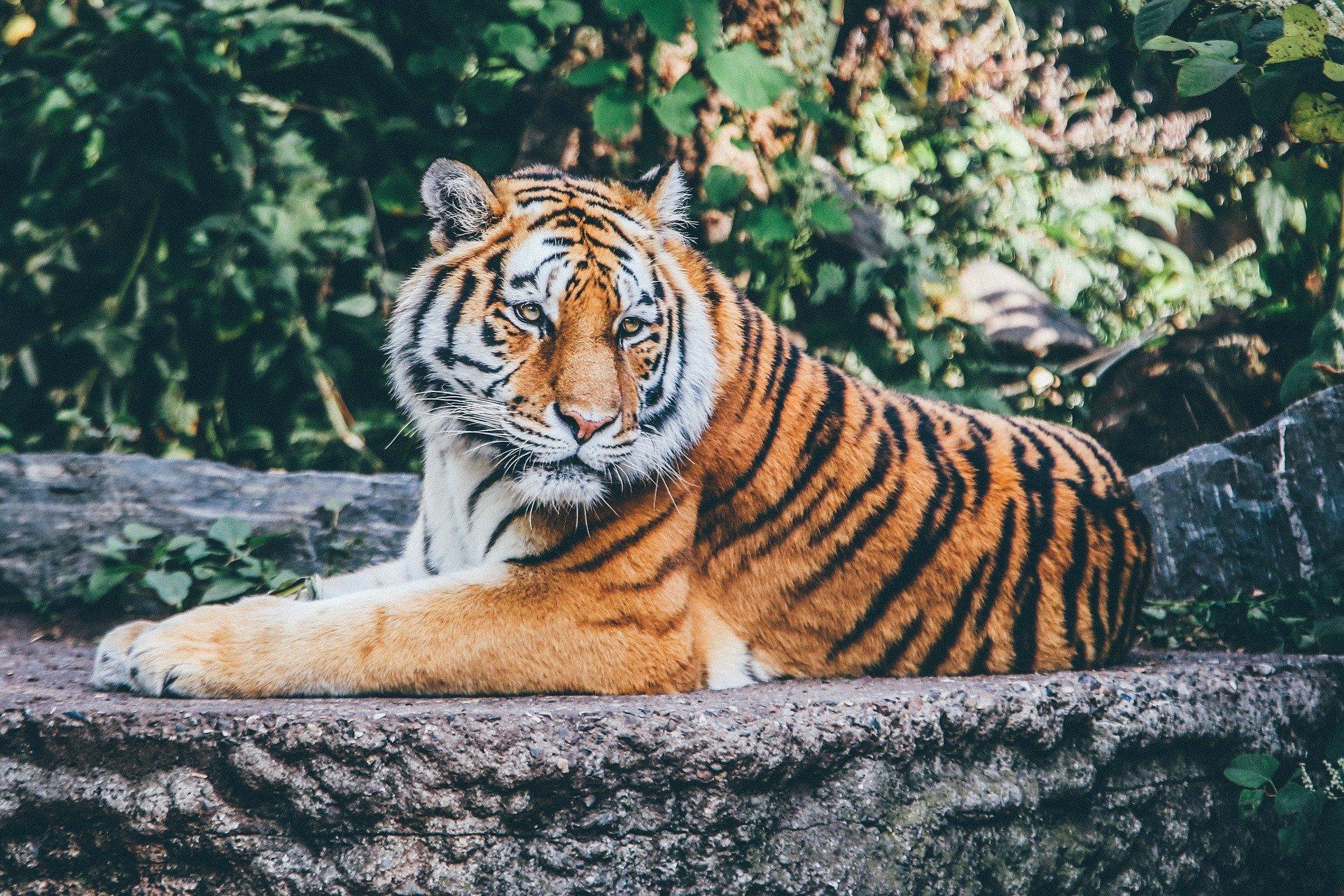 Tiger in New York Zoo an Coronavirus erkrankt